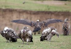 White headed vulture (Trigonoceps occipitalis) Royalty Free Stock Photo
