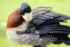 A white headed whistling duck. Grooming its self royalty free stock photography