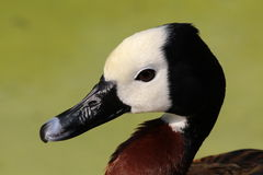 A white headed whistling duck. A head of a white headed whistling duck royalty free stock photography