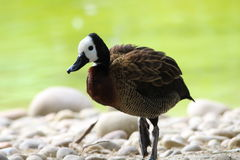 A white headed whistling duck. Walking on pebbles royalty free stock image