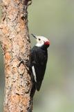 White-headed Woodpecker, Oregon, US. White-headed Woodpecker perching on a branch, Oregon, US stock image