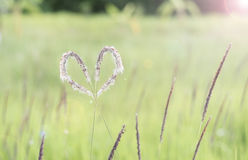 White heart grass (Cogongrass, Alang-alang, Lalang Stock Photos