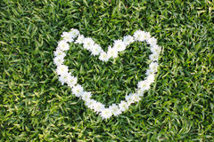 White heart made from daisy flowers. Heart made from daisy flowers royalty free stock image