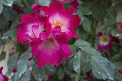 White heart rose Stock Images
