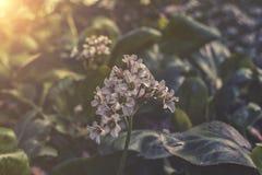 White Heartleaf Bergenia sunset or sunrise Royalty Free Stock Photo