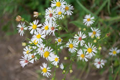 Closeup of Smooth White Aster Flowers. Smooth white aster or small headed aster flowers growing in a meadow Stock Photo