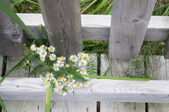 White Heath Wildflowers Wooden Fence. Bunch of white heath wildflowers growing through wooden fence and walkway in conservation area of Ontario, Canada. Also Stock Image