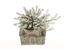 White heather in basket Royalty Free Stock Image