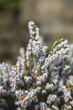 White Heather Royalty Free Stock Images