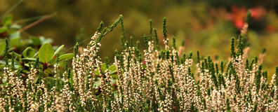 White heather Royalty Free Stock Photography