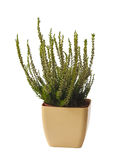 White heather in pot Royalty Free Stock Image