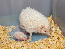White Hedgehog with Babies in Plastic Bucket [Atelerix frontalis] Royalty Free Stock Images