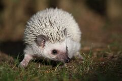 White Hedgehog in Grass Stock Photo