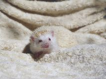 A white hedgehog smiles royalty free stock image