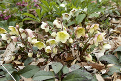 White hellebore Stock Photography