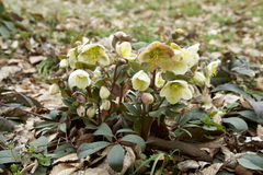 White hellebore Royalty Free Stock Photography