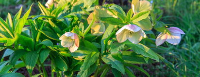 White hellebore Helleborus hybridus. With purple spots in a garden Stock Images