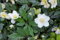 White hellebore lenten roses bloom conservatory Royalty Free Stock Photography