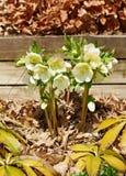 White hellebore. Spring. White hellebore in the garden Stock Photo