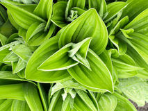 White hellebore (veratrum album) Royalty Free Stock Images
