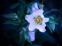 White Helleborus flower. A closeup of blue and white Helleborus flower Royalty Free Stock Photography