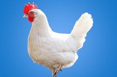 White hen Stock Photography