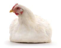White hen. stock photos