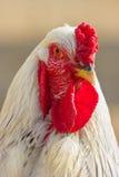 White hen. Stock Photo
