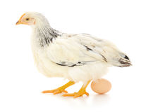 White hen with egg Stock Images