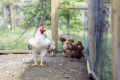 White  hen on farm yard outdoors Royalty Free Stock Photos