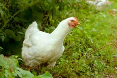 White Hen in green grass Stock Image
