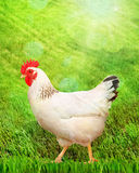 White hen on a green grass. Royalty Free Stock Photos