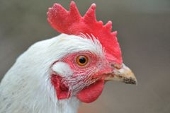 White hen head portrait Royalty Free Stock Photography