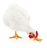 White hen isolated. Stock Photography