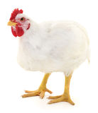 White hen isolated. Stock Photo