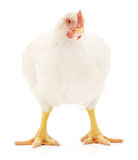 White hen Stock Photos