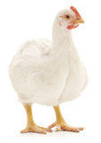 White hen Royalty Free Stock Photo
