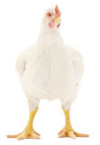 White hen Royalty Free Stock Photos