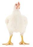 White hen Royalty Free Stock Photos