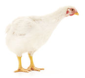 White hen Royalty Free Stock Photography