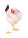 White hen on white. Royalty Free Stock Images