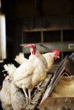 White Hens Stock Photo
