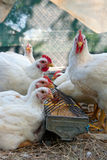 White hens eating grain Stock Images