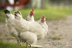 White hens. Two white hens at a farm Stock Images