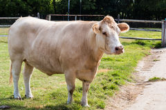 White Hereford Cow in Pasture Stock Photography