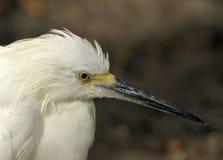 White Heron. Great White Heron Close Up stock photos