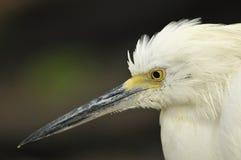 White Heron. Great White Heron Profile close up royalty free stock photos