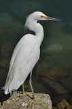White heron Stock Photography