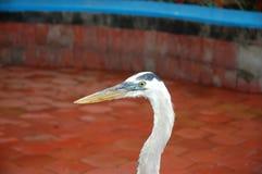 White Heron. Photo was taken at fish market of Puero-Ayora, Galapagos Stock Image