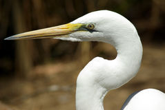 White Heron. Close-up profile of a White Heron's head and neck Stock Image